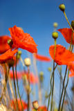 ableimages (F1 Online) - Kornmohn, Papaver-Rhoeas, Erinnerung, Mohne, Mohn