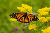 All Canada Photos (F1 Online) - Monarchenschmetterling, Gelbe Blumen, Andreas McLachlan