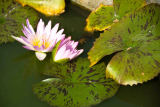 Norbert Hohn  (F1 Online) - Lotus (Nelumbo) in water, Thailand, close-up
