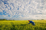 First Light (F1 Online) - Man checks mid growth, headed out barley field under sky filled with clouds, near Niverville, Manitoba, Canada