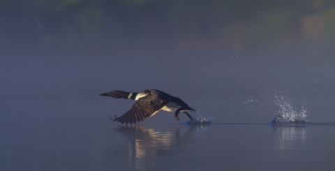 Foto-Kunstdruck: Jim Cumming, Common loon skip