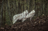 Ronan Siri - Meeting with white Wolves