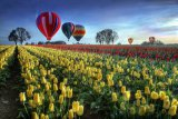 William Lee - Hot air balloons over tulip field