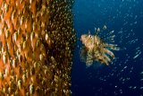 Ilan Ben Tov - Lion fish staring at its lunch
