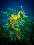 Jan Abadschieff - Leafy Sea Dragon - male with eggs