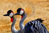William Perry - Southern crowned cranes